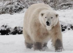 polar-bear-4278-capercaille-copyright-photographers-on-safari-com