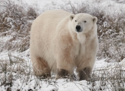 polar-bear-4279-capercaille-copyright-photographers-on-safari-com