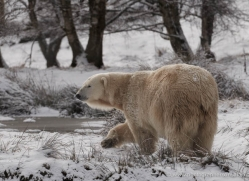 polar-bear-4280-capercaille-copyright-photographers-on-safari-com