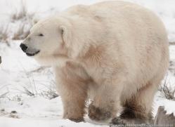 polar-bear-4284-capercaille-copyright-photographers-on-safari-com