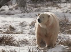 polar-bear-4285-capercaille-copyright-photographers-on-safari-com