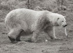 polar-bear-4286-capercaille-copyright-photographers-on-safari-com
