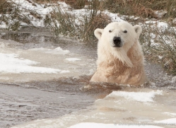 polar-bear-4287-capercaille-copyright-photographers-on-safari-com