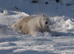 polar-bear-4291-capercaille-copyright-photographers-on-safari-com