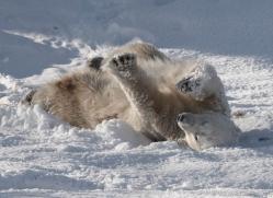 polar-bear-4292-capercaille-copyright-photographers-on-safari-com
