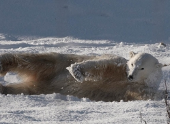 polar-bear-4293-capercaille-copyright-photographers-on-safari-com