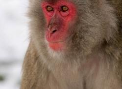 snow-monkey-japanese-macaque-4197-capercaille-copyright-photographers-on-safari-com