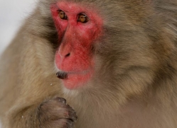 snow-monkey-japanese-macaque-4199-capercaille-copyright-photographers-on-safari-com