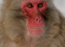 snow-monkey-japanese-macaque-4200-capercaille-copyright-photographers-on-safari-com