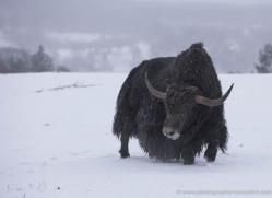 yak-4225-capercaille-copyright-photographers-on-safari-com