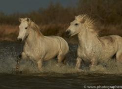 Camargue Horses 2015 -65copyright-photographers-on-safari-com