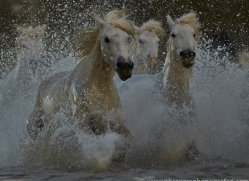 Camargue Horses 2015 -67copyright-photographers-on-safari-com