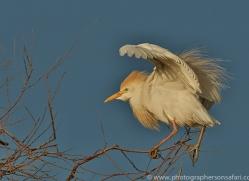 Cattle Egret 2014-7copyright-photographers-on-safari-com