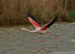 Flamingo 2015 -2copyright-photographers-on-safari-com