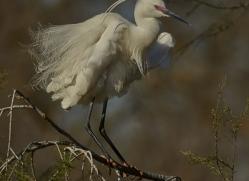 Little Egret 2014-2copyright-photographers-on-safari-com