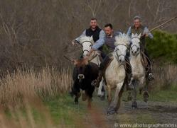 black-bulls-copyright-photographers-on-safari-com-8319