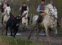 black-bulls-copyright-photographers-on-safari-com-8320
