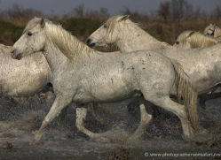 camargue-white-horses1126-camargue-copyright-photographers-on-safari-com
