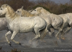 camargue-white-horses1130-camargue-copyright-photographers-on-safari-com