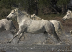 camargue-white-horses1133-camargue-copyright-photographers-on-safari-com