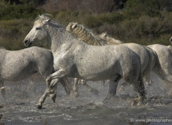 camargue-white-horses1134-camargue-copyright-photographers-on-safari-com