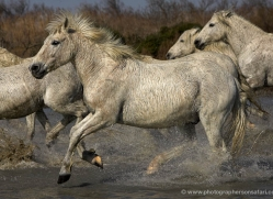 camargue-white-horses1136-camargue-copyright-photographers-on-safari-com