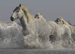 camargue-white-horses1139-camargue-copyright-photographers-on-safari-com