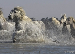 camargue-white-horses1140-camargue-copyright-photographers-on-safari-com