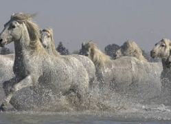camargue-white-horses1142-camargue-copyright-photographers-on-safari-com