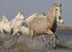 camargue-white-horses1143-camargue-copyright-photographers-on-safari-com