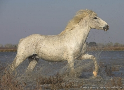camargue-white-horses1146-camargue-copyright-photographers-on-safari-com