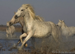 camargue-white-horses1147-camargue-copyright-photographers-on-safari-com