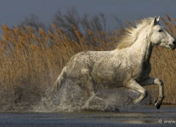 camargue-white-horses1149-camargue-copyright-photographers-on-safari-com