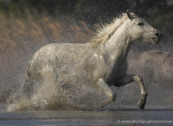 camargue-white-horses1151-camargue-copyright-photographers-on-safari-com
