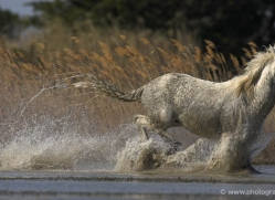 camargue-white-horses1153-camargue-copyright-photographers-on-safari-com
