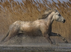 camargue-white-horses1156-camargue-copyright-photographers-on-safari-com