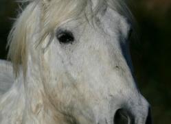 camargue-white-horses1159-camargue-copyright-photographers-on-safari-com