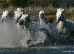 camargue-white-horses1162-camargue-copyright-photographers-on-safari-com
