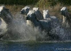 camargue-white-horses1163-camargue-copyright-photographers-on-safari-com