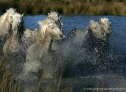 camargue-white-horses1168-camargue-copyright-photographers-on-safari-com