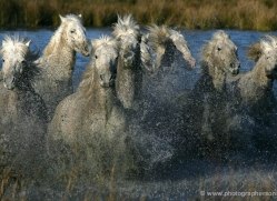 camargue-white-horses1169-camargue-copyright-photographers-on-safari-com