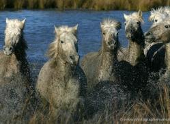 camargue-white-horses1171-camargue-copyright-photographers-on-safari-com