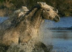 camargue-white-horses1173-camargue-copyright-photographers-on-safari-com