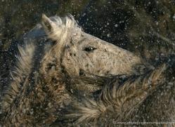 camargue-white-horses1175-camargue-copyright-photographers-on-safari-com