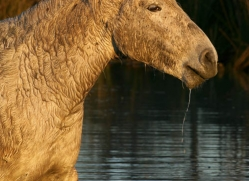 camargue-white-horses1181-camargue-copyright-photographers-on-safari-com