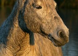 camargue-white-horses1182-camargue-copyright-photographers-on-safari-com
