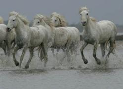 camargue-white-horses1184-camargue-copyright-photographers-on-safari-com