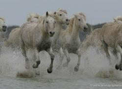 camargue-white-horses1191-camargue-copyright-photographers-on-safari-com