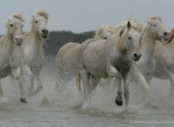 camargue-white-horses1192-camargue-copyright-photographers-on-safari-com