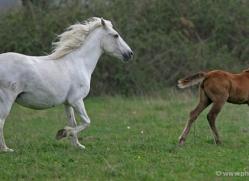 camargue-white-horses1193-camargue-copyright-photographers-on-safari-com